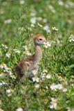 Baby Sand Hill Crane at Viera Wetlands Florida. A Baby Sand Hill Crane walking at Viera Wetlands Florida Stock Image