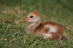 Baby Sandhill crane. Laying in the grass Royalty Free Stock Photos
