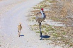 Baby Sandhill Crane Mother Walking With Her lizenzfreies stockfoto