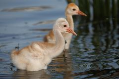 Baby Sandhill cranes. Wading in a pond Royalty Free Stock Photos