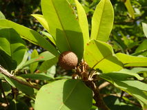 A baby sapodilla tree on bequia Royalty Free Stock Images