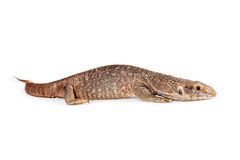 Baby Savannah Monitor Lizard Stock Image