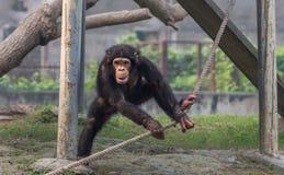 Baby-Schimpanse, der mit einem befestigten Seil spielt Stockfotografie