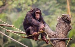 Baby-Schimpanse, der mit einem befestigten Seil spielt Stockbild