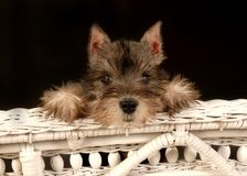 Baby Schnauzer and wicker bench Royalty Free Stock Photo