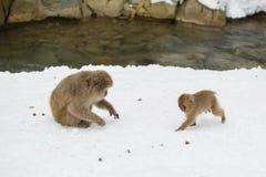 Baby-Schnee-Affe, der zur Mutter läuft Lizenzfreie Stockfotos