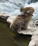 Baby-Schnee-Affe gehockt auf Mutter Lizenzfreies Stockfoto