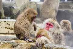 Baby-Schnee-Affe-Temperament-Wutanfall Stockbild