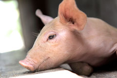 Baby-Schwein Lizenzfreie Stockbilder