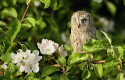 Baby scops owl in spring Stock Photography