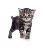 Baby Scottish british kitten Stock Photos