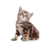 Baby Scottish british kitten Royalty Free Stock Images