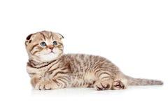 Baby Scottish fold kitten lying on floor Stock Photography