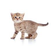 Baby Scottish kitten on white Stock Photo