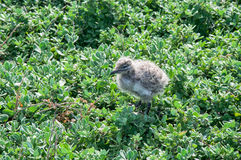 Baby Sea Gull. S at a Penguin Island in the lush, green coastal dunes in Rockingham, Western Australia Stock Photo