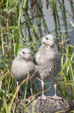 Baby Sea Gull Royalty Free Stock Photography