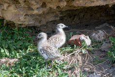 Baby Sea Gulls at Penguin Island Stock Images