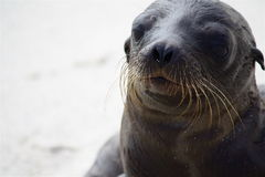 Baby Sea Lion. Close up of baby Sea lion fresh out of the water Stock Photo