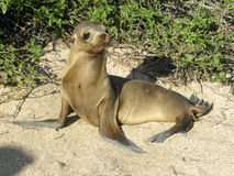 Baby Sea lion Stock Image