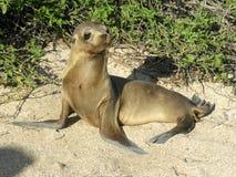 Baby Sea Lion Stock Image