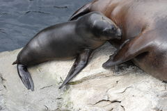 Baby Sea Lion. A Baby Sea Lion Nursing royalty free stock photos
