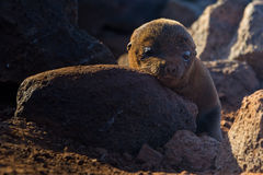 Baby Sea lion. A baby sea lion on the galapagos islands Stock Photo
