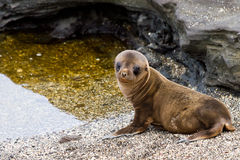 Baby Sea Lion. New-born sea lion in the Galapagos Islands stock image