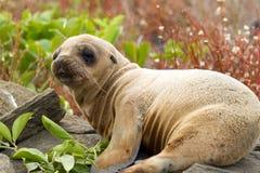 Baby Sea Lion. In the Galapagos Islands stock photos