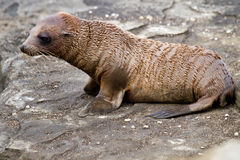Baby Sea Lion. In the Galapagos Islands, just born royalty free stock photography
