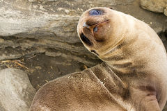 Baby Sea Lion. In the Galapagos Islands stock photo