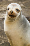 Baby Sea Lion. In the Galapagos Islands royalty free stock photography