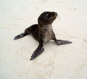 Baby Sea Lion Stock Images