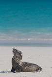 Baby sea lion on the beach. A baby sea lion covered in sand Stock Photo