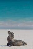Baby sea lion on the beach Stock Photo