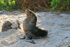Baby sea lion on a Beach Royalty Free Stock Photos