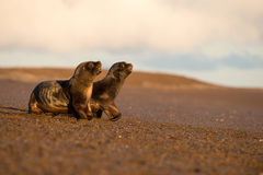 Baby sea lion on the beach in Patagonia Stock Image