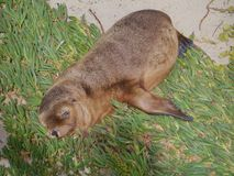 Baby Sea lion on the beach of Seal Bay Royalty Free Stock Images