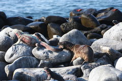 Baby sea lion bites marine iguana on Galapagos Stock Photography