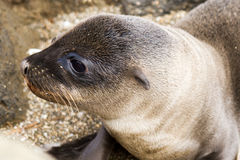 Baby Sea Lion Closeup. From Galapagos Islands royalty free stock photography