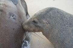 Baby sea lion feeding Royalty Free Stock Photography