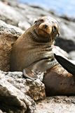 Baby Sea Lion, Galapagos. A sea lion  (Zalophus wollebaeki) from South Plaza Island, Galapagos, Ecuador Stock Photo