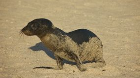 Baby Sea Lion in Galapagos Islands Stock Photography