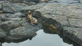 Baby Sea Lion in Galapagos Islands Stock Photos