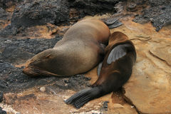 Baby sea lion with his mom on a Beach Royalty Free Stock Photo