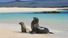 Baby sea lion with his mom on a Beach Royalty Free Stock Photos