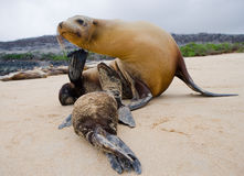 A baby sea lion with his mother on the sand. The Galapagos Islands. Pacific Ocean. Ecuador. Royalty Free Stock Images