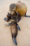 A baby sea lion with his mother on the sand. The Galapagos Islands. Pacific Ocean. Ecuador. Royalty Free Stock Image