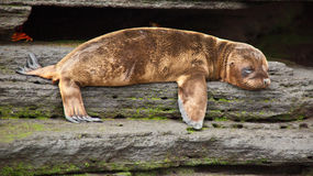 Baby sea lion. Laying down in Galapagos Royalty Free Stock Photography