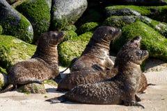 Baby Sea Lion Nursery. Baby sea lions in a nursery in the Galapagos islands stock photos