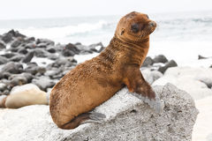 Baby sea lion Stock Photo